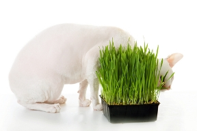 Yum! Barley grass is good for cats