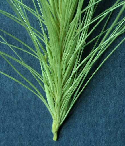 watch out for spear grass