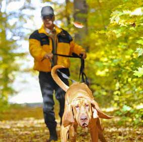 bloodhound tracking dog in woods