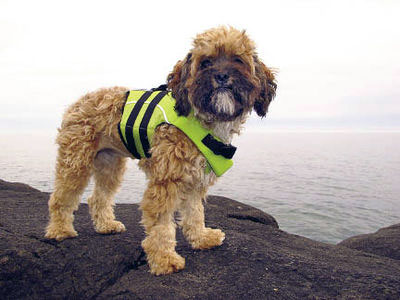 small dog wearing life vest