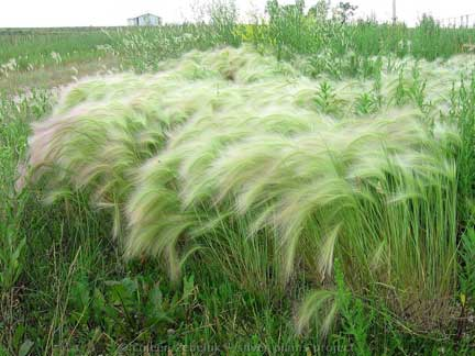 how to get rid of spear grass