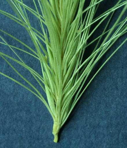 spear-grass